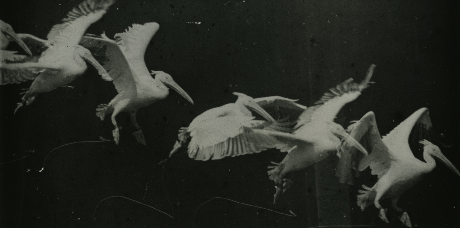 Photo of flying pelican taken by Étienne-Jules Marey, c.1882, Wikimedia commons images, accessed 5 June 2020
