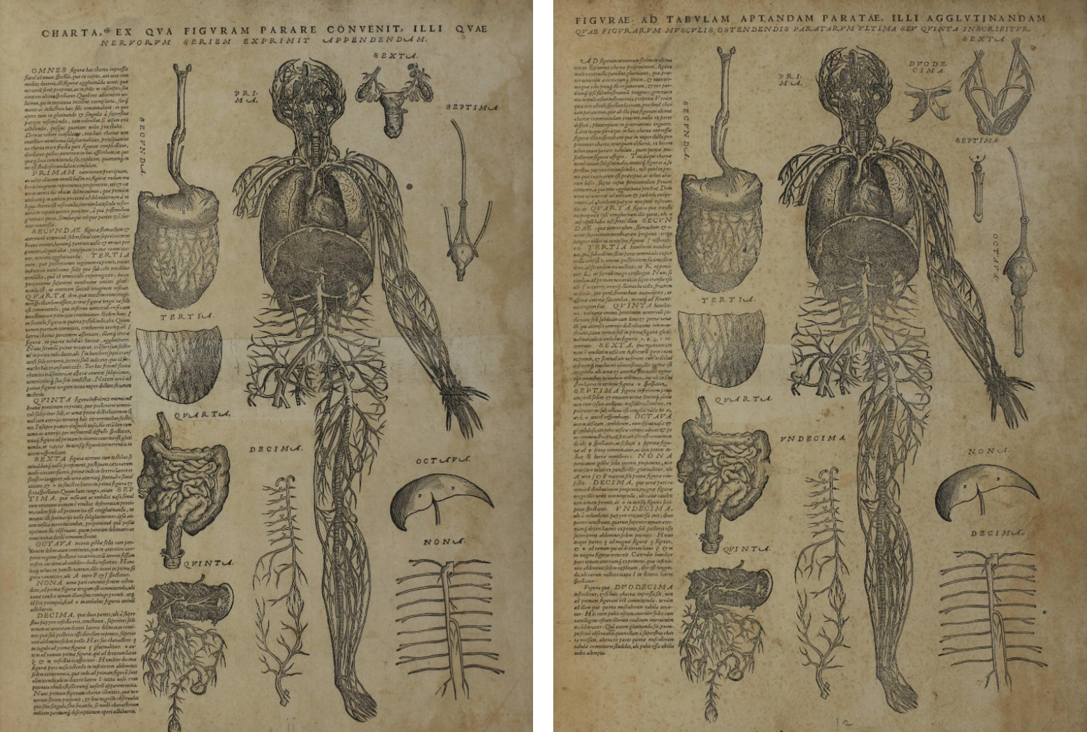 Anatomical drawing of the blood vessesls of the body with organs surrounding the main body. Two versions: one male and one female.