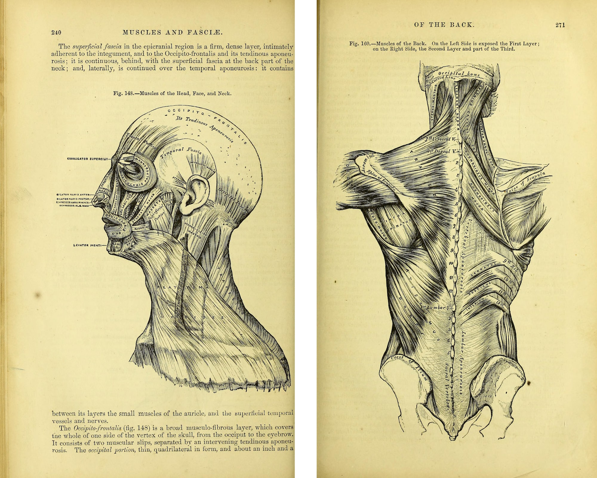 Anatomical illustration of muscles of the head and neck on left and muscles of the back on the right.