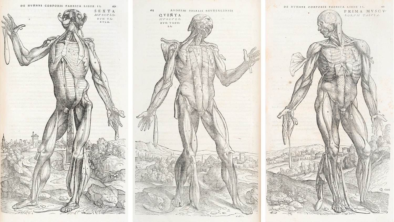 Three image of a male body with partially flayed skin, showing the muscles.