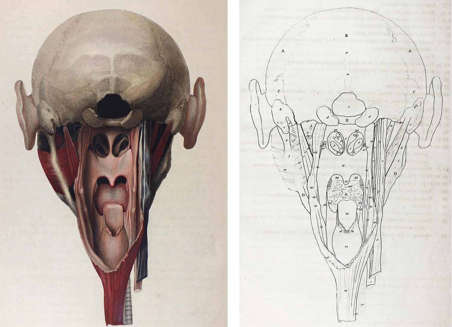 Colour illustration of anatomy of  anatomy of the head as seen from behind looking into the cavity of the mouth.