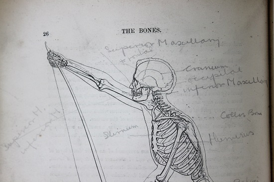 Line drawing of the human skeleton from head to waist, posed holding a large bow, with pencil annotations around the body.
