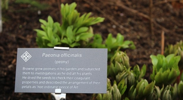 A plant label accompanying the Thomas Browne trail leaflet in the garden (the quincunx pattern is seen at the top-left). The peonies will be in flower in May.