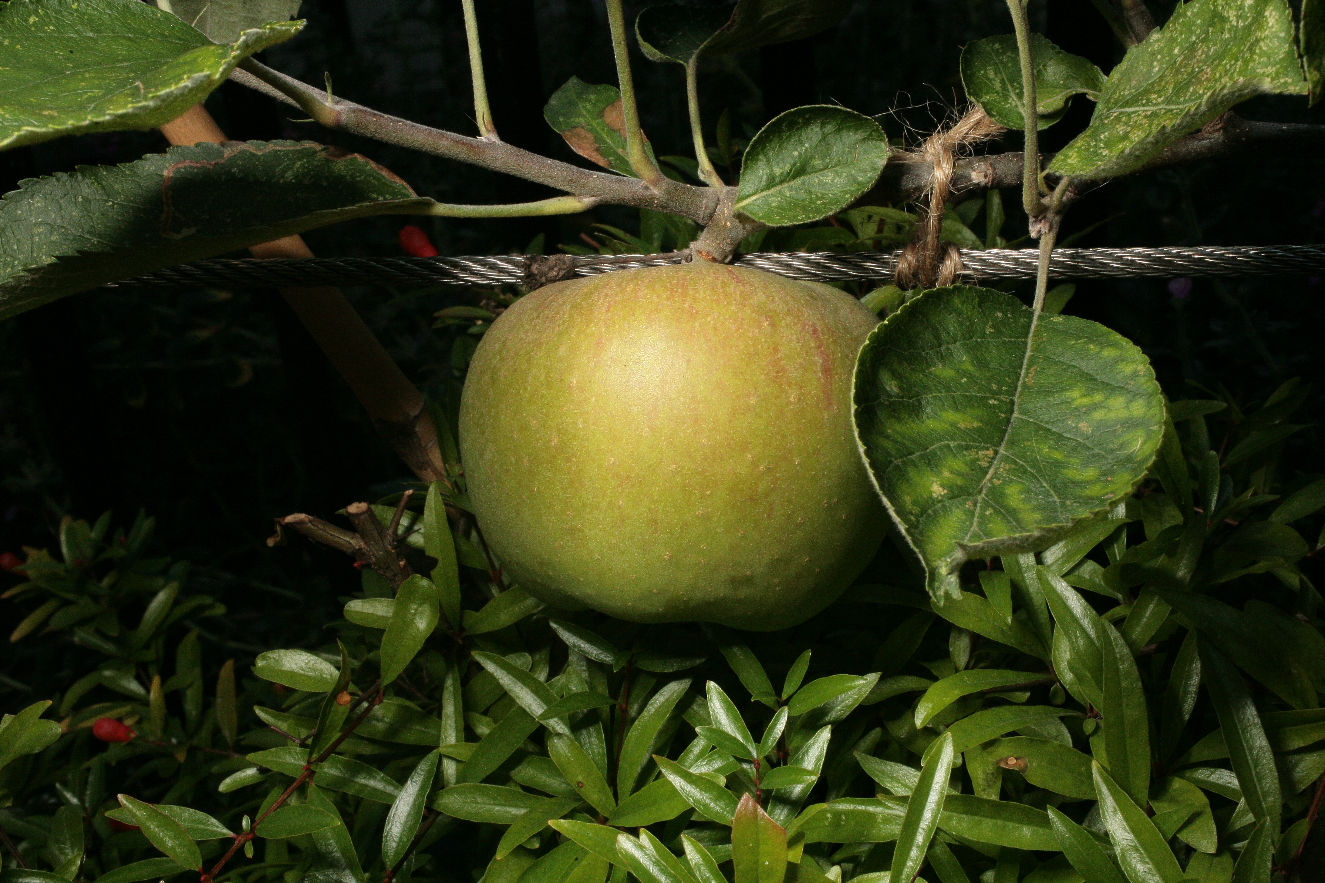 – 'Not yet old enough for a man, nor young enough for a boy; as a squash is before 'tis a peascod, or a codling when 'tis almost an apple'. Margaret in Much ado about nothing III.iv.65–6