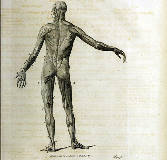 Engraved illustration of a standing flayed body, seen from the back, with layers of muscle visible.