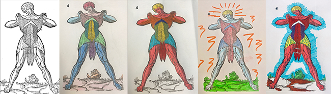 Several different coloured-in versions of an anatomical illustration of the human mucles.