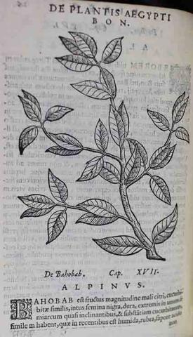 Woodcut illustration of a plant.