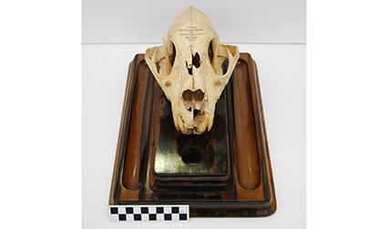 A leopard skull mounted on a wooden stand.